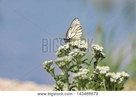 white butterfly sits on a white flowers on a blue background