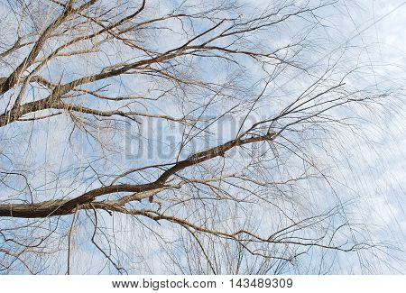closeup spring willow tree branches in the park