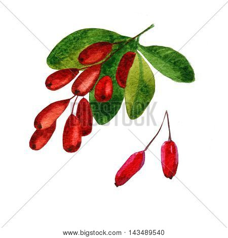 watercolor illustration depicting branches with berries of barberry. drawing watercolor