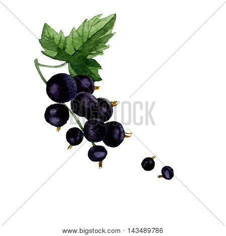 watercolor illustration depicting branches with berries of black currant and leaf. drawing watercolor
