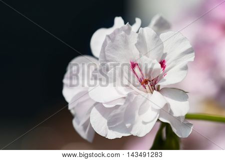 White Geranium Flowers with bokeh background - typical balcony flower.
