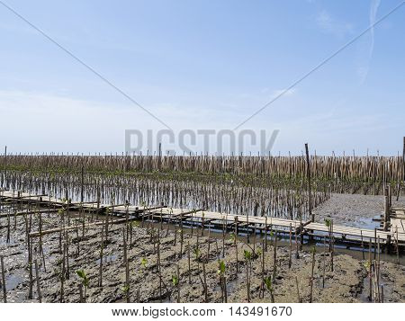 Bamboo barrier for mangrove forest under blue sky at Bangpu Recreation Center Samut Prakan Thailand