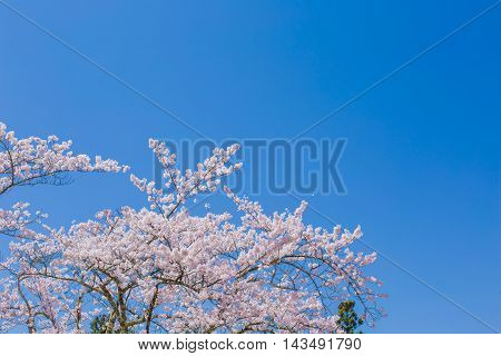 Material obtained by photographing the cherry tree in the main.
