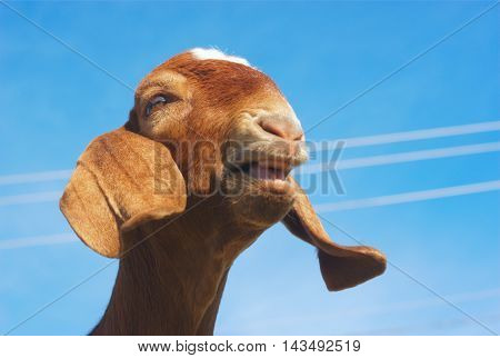 brown goat with long ears bleating on blue sky