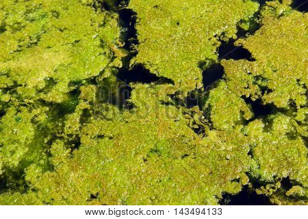 Algae float on a small lake in the Wesmere Country Club subdivision of Joliet, Illinois during April.