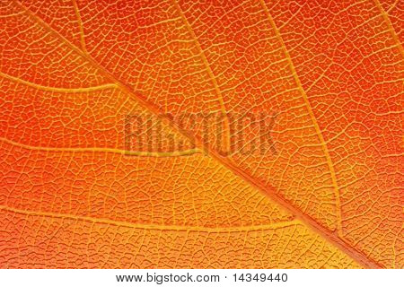 Macro of a golden autumn leaf, backlit to reveal detail in bas relief