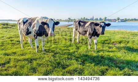 Backlit image of two curiously looking black spotted cows on the bank of a Dutch river in the summer season.