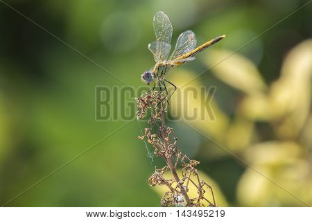 Yellow dragonfly sitting on top of a stalk