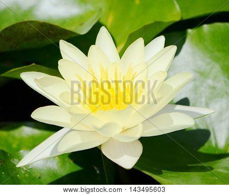 closeup white Lily pond on the lake