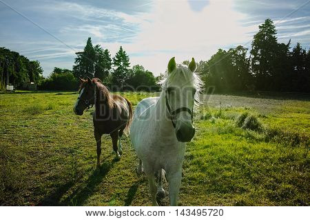 Beautiful white and brown horses running in the paddock at sunset