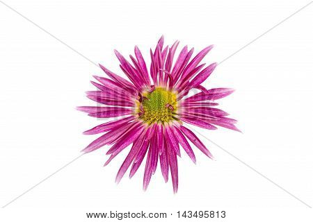 pink violet  flower chrysanthemum on white background