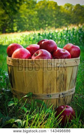 Red apples in a basket in a orchard during a nice autumn day
