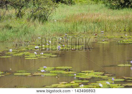 African Jacana In A Lake In Karura Forest, Nairobi, Kenya