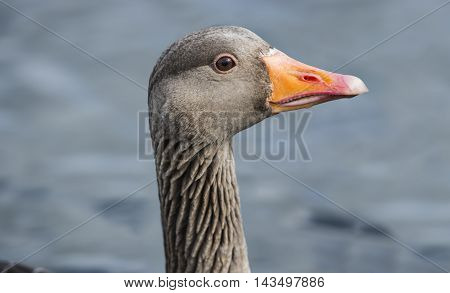 Greylag Goose On A Loch, Portrait, Close Up