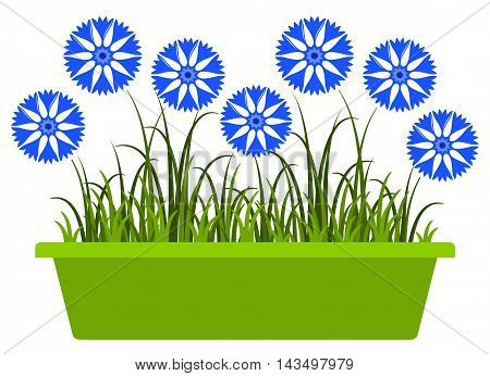 vector cornflowers in planter isolated on white background