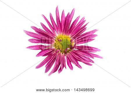pink chrysanthemum  one flower on white background