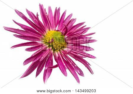 beauty flower pink chrysanthemum on white background