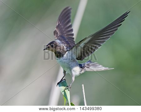 Barn swallow (Hirundo rustica) landing on a branch with vegetation in the background