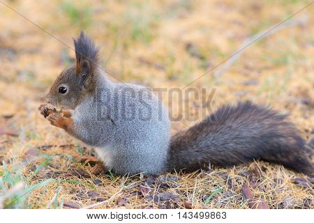 Portrait of a squirrel with a nut on a fall foliage