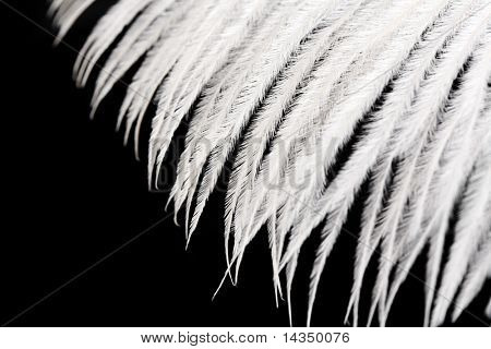 Extreme closeup of delicate, soft white feather, on black background.