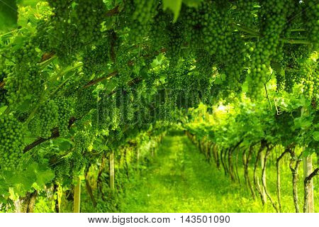 Trentino vineyards in the summer, north Italy