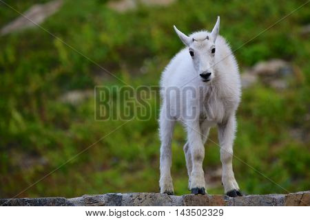 Young baby Mountain goat kid standing on rock ledge with green grass in the background