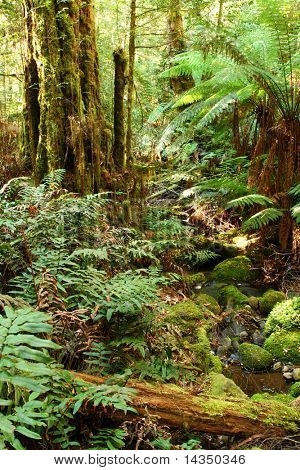 Early morning in a temperate rainforest, with gently flowing creek, treeferns, moss-covered boulders, and ancient myrtle beech trees.  Victoria, Australia.