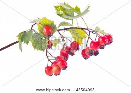 Branch of berries of Hawthorn is isolated on a white background
