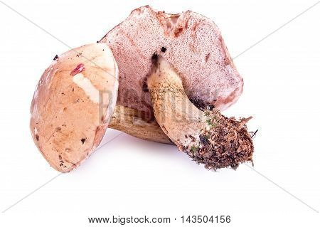 The uneatable bitter bolete mushroom is isolated on a white background
