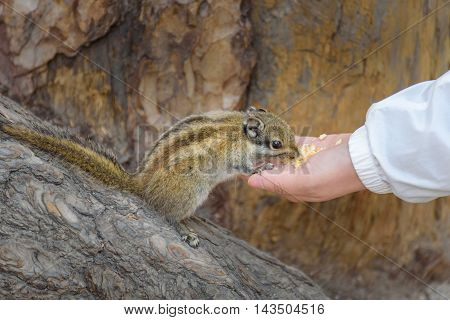 Squirrel is eating food from the hand.