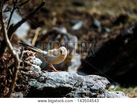 Brown Bird perched on a rock and looking at photographer.
