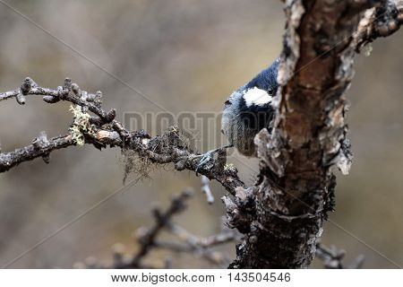 Shy bird try to hide itself from camera at Yading Nature Reserve, China.