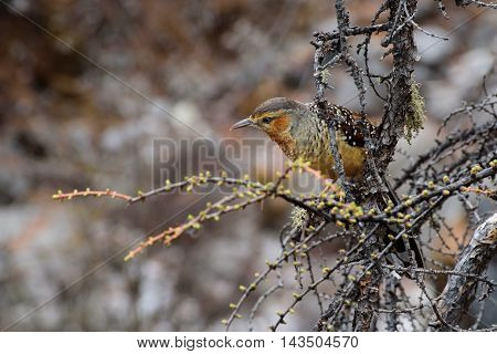 Brown bird perched on a twig with brown background.