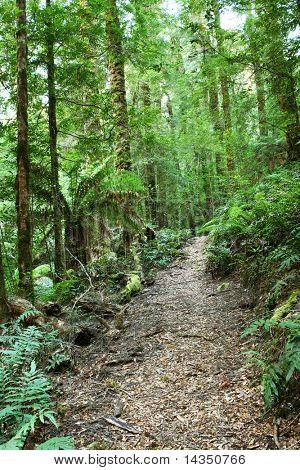Reise durch ein Gemäßigter Regenwald mit üppiger Baumfarnen und Eberesche Moos bedeckten eucalyptu