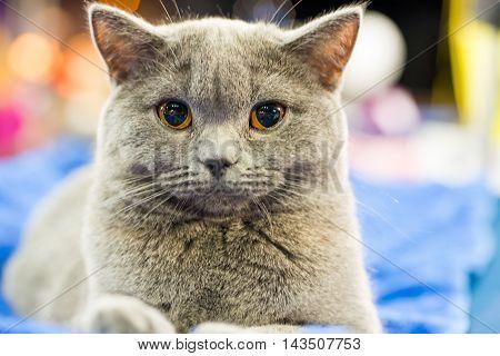 Adorable Britan Gray Cat With Orange Eyes
