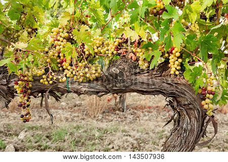 Colored grapes before becoming red over a trunk