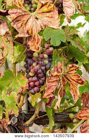 Colored grapes before becoming red with colored leaves