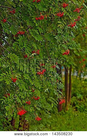 The autumn mountain ash burns with red fires of berries