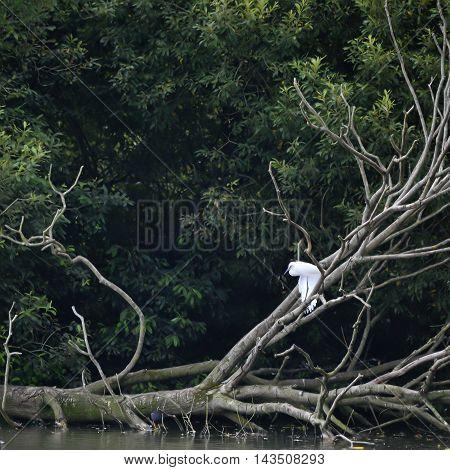 Graceful Little Egret Egretta Grazetta Perched On Branch On Dead Tree In Lake