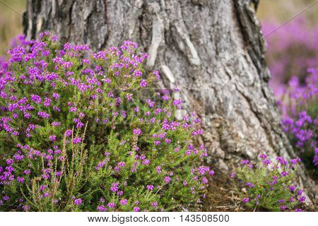 Vibrant Landscape Image Of Heather Erica In Forest With Shallow Depth Of Field For Effect