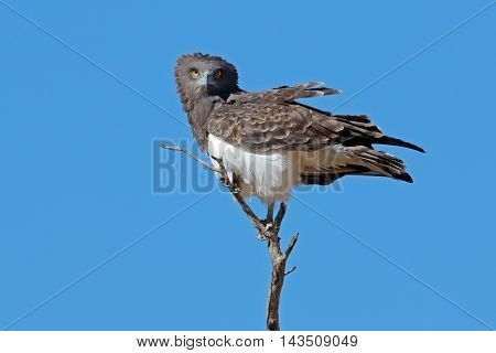Black-breasted snake eagle (Circaetus gallicus) perched on a branch, Kalahari, South Africa