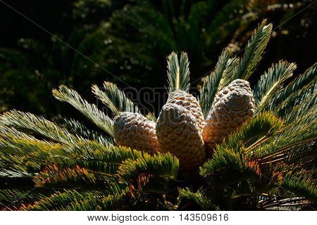 Leaves and cones of a rare cycad  (Encephalartos spp.), South Africa