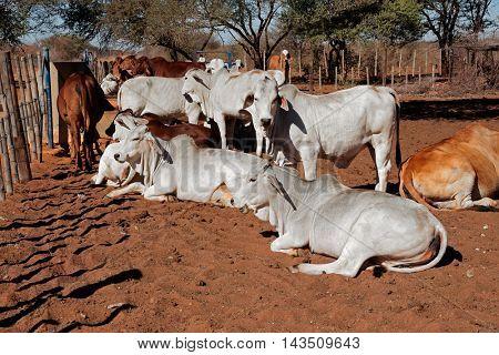 White Brahman cattle on a rural African free-range farm