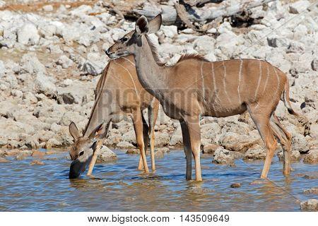 Kudu antelopes (Tragelaphus strepsiceros) drinking water, Etosha National Park, Namibia