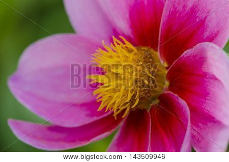 Macro beautiful flower with large pink petals and yellow heart