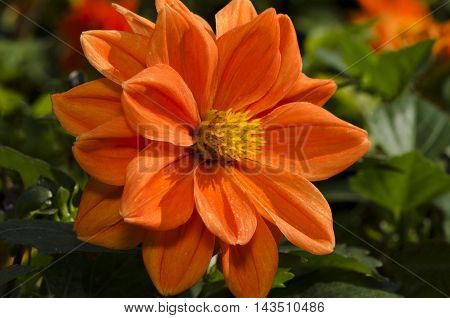 Macro beautiful flower with large orange petals and yellow heart