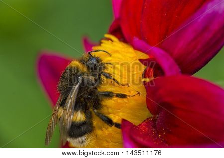 Macro bee on beautiful colorful flowers with bright petals and yellow heart