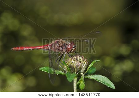 Macro beautiful dragonfly sits on a flower