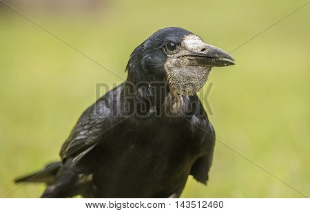 Rook, Portrait, On The Grass, Close Up