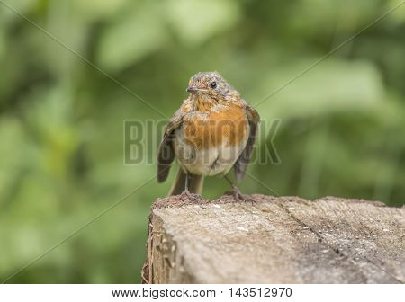 Robin Redbreast, Juvenile, Perched On A Tree Trunk